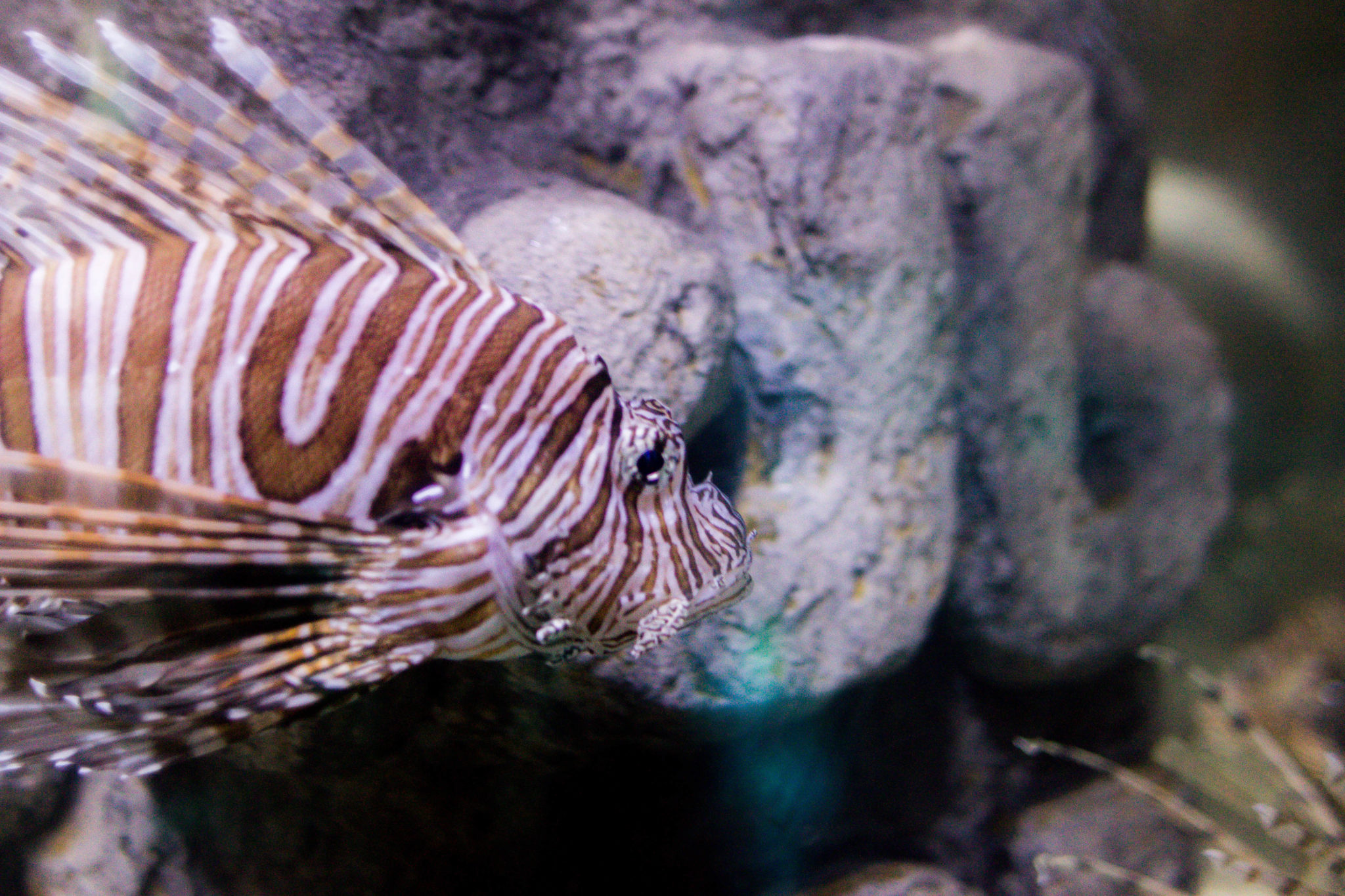 New Orleans Aquarium Lion Fish