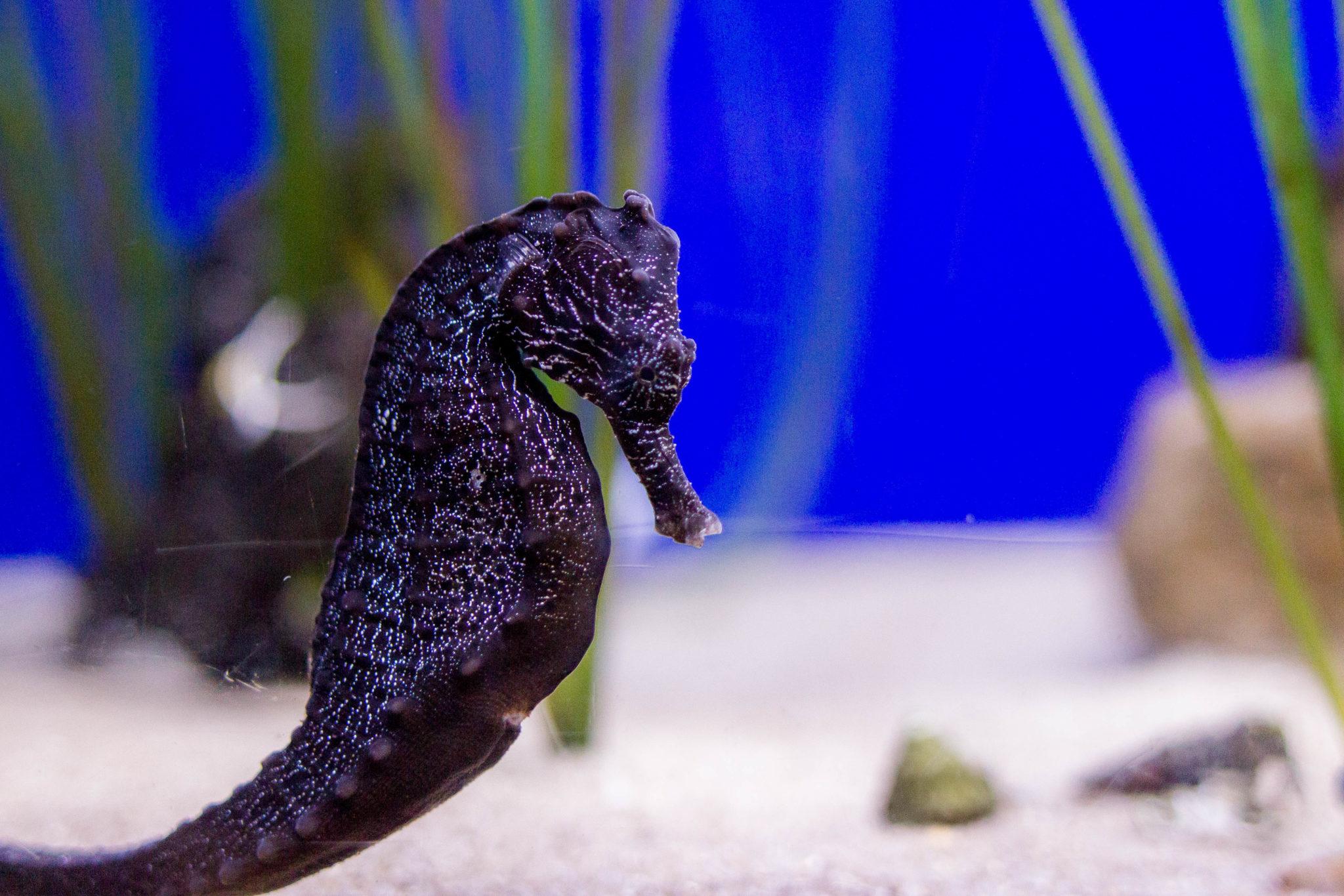 New Orleans Aquarium Seahorse